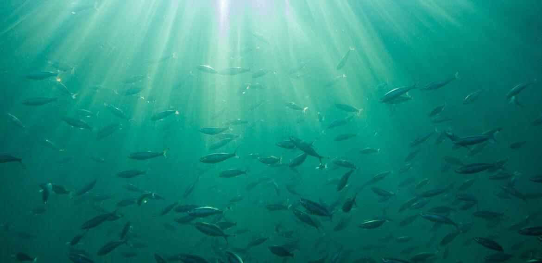 Studiu: 60% din speciile de pești ar putea să nu supraviețuiască în mediile lor până în anul 2100, din cauza încălzirii globale