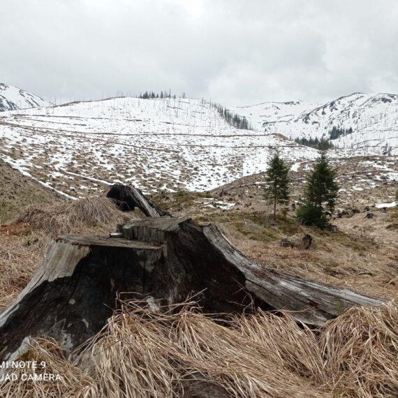 Conservation Carpathia: 100 hectare de pădure tăiate la ras vor fi reconstruite prin plantarea a 350.000 de puieți