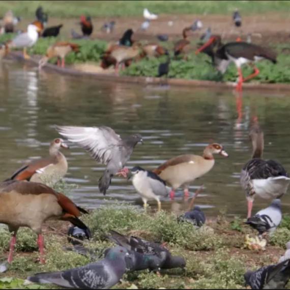 Studiu: Oamenii au provocat extincţia a cel puţin 469 de specii de păsări în ultimii 50.000 de ani